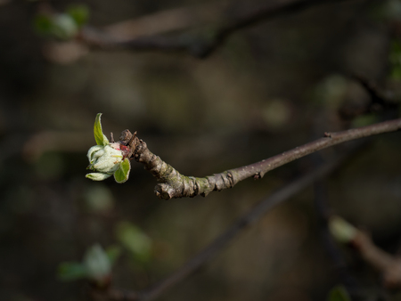 Bud of apple tree isolated Stock Photo