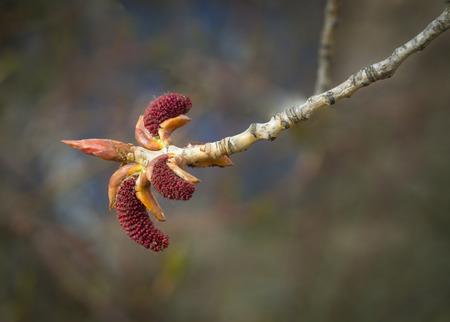Buds of poplar tree with catkins
