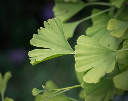 Twig of Ginkgo biloba - maidenhair tree with green leafs