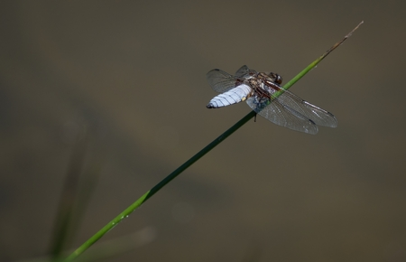 Dragonfly sitting on a blade of grass above the water