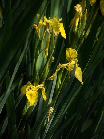 Yellow irises - Iris pseudacorus - on the shore of the pond Stock Photo