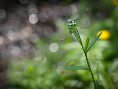 Flower of the wood forget-me-not Myosotis sylvatica on the background from natural bokeh of forest creek.