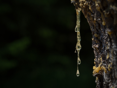 Close-up of the trunk of spruce with hardening resin. Stock Photo