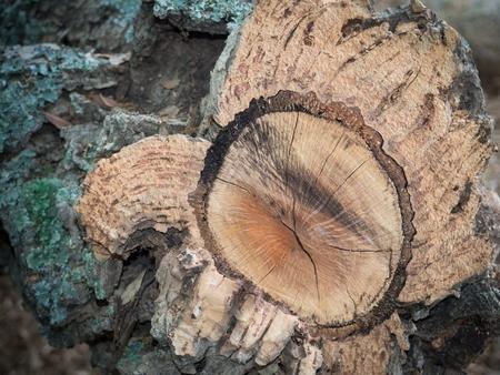 Close up of bark of a cork oak tree. Tree trunk cut.