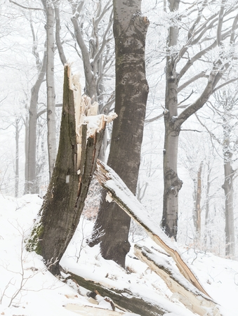 A frozen beech forest on the slopes of the Luz Mountain in the Lusatian Mountains, Czech republic. Stock Photo