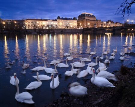 Swans on the Vltava river in the early evening with the National Theatre in the background.