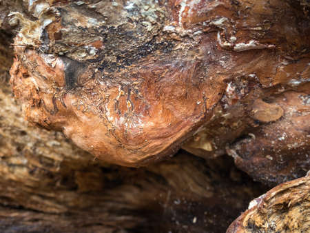 Close up of wood in the roots of an uprooted spruce tree Editorial
