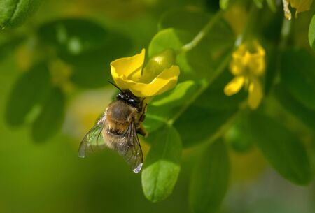 Close up of Hairy footed flower bee - Anthophora plumipes on a flowering acacia.
