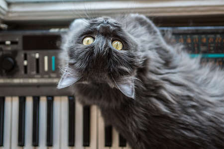Gray cat lies on the piano
