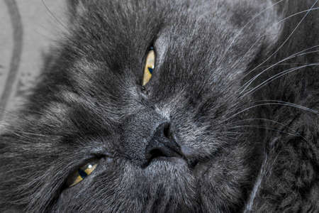 Gray fluffy cat lying on the couch. Cat close up.