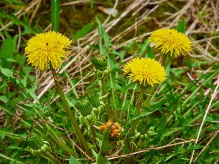 Yellow dandelions in the field. Sunny day 版權商用圖片