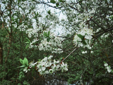 Spring cherry white flowers on a branch. Sunny day