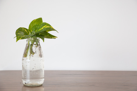 species of creeper: Pothos (Scindapsus aureus Eagler) in vase Stock Photo