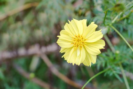 Beautiful yellow flower in the garden, Daisy family