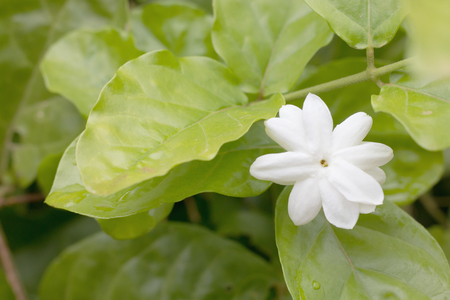 White Jasmine flower with green leaf background