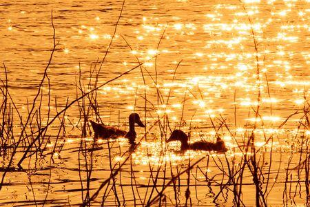 crested duck: Ducks swim in the evening