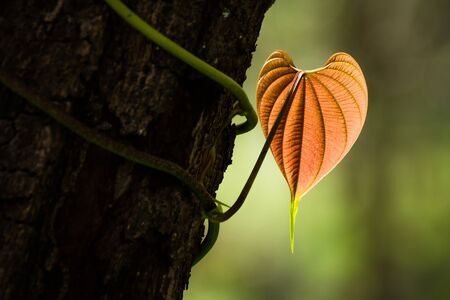 shaped: The heart shaped leaves Stock Photo