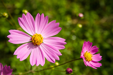 yellow stamens: Pink flowers with yellow stamens