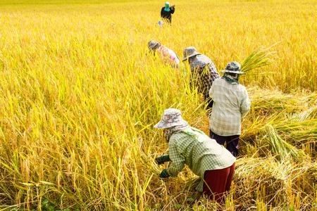 Farmers harvest rice in rice fields