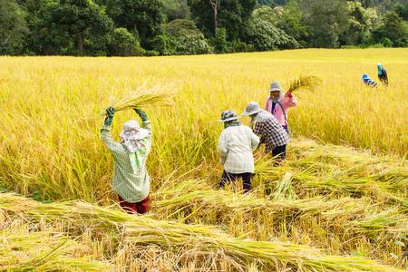 Die Bauern ernten Reis in Reisfeldern Standard-Bild - 47999480
