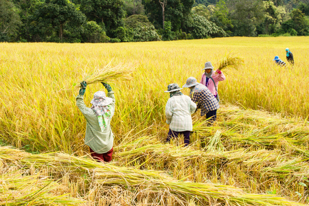 Farmers harvest rice in rice fields