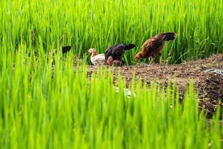 Chicken flocks in the rice fields of green