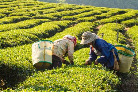 Werknemers oogsten van groene thee bladeren in een theeplantage.