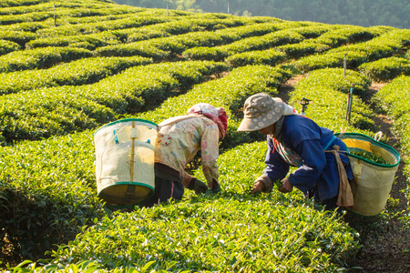 Workers harvesting green tea leaves in a tea plantation.