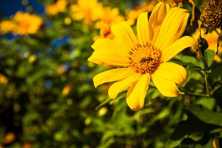 swarm: Insects swarm sunflower pollen