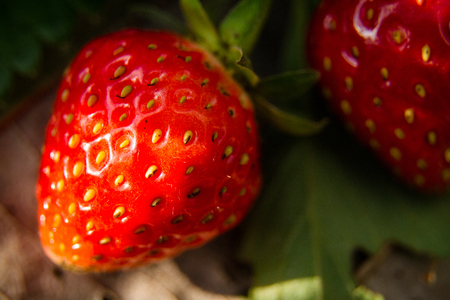fresh taste: Fresh strawberry berry big delicious sweet taste
