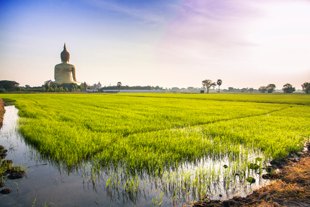 big behind: Rice fields behind of the Big golden Buddha