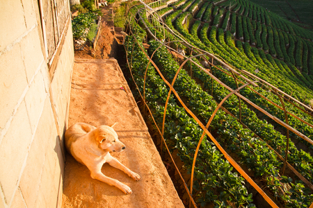 agriculturalist: Dog in Strawberry garden at Doi Ang Khang , Chiang Mai, Thailand Stock Photo