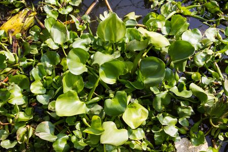 hyacinth: Green water hyacinth in the river