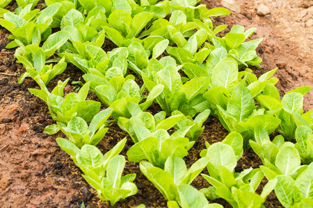 fertile: Rows of fresh lettuce plants on a fertile field.