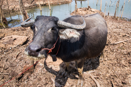 gestation: Pregnant Thai buffalo in gestation period of eleven months. Stock Photo