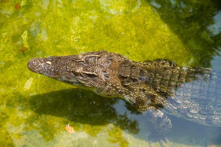 cruel zoo: Crocodile in the zoo.Thailand.