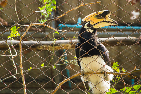 casque: Rhinoceros Hornbill in the cage.