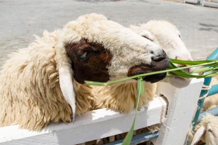 Closeup face of sheep in farm. Stock Photo