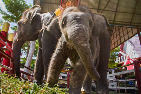 power giant: Ayutthaya, Thailand - October, 21, 2016 : Thai mother elephant for tourists ride tour and baby elephant at Ayothaya Floating Market.Ayutthaya, Thailand