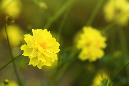 Yellow flower blossoms blooming in natural environment on a sunny day.Selective focus. Stock Photo