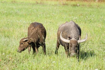 buffalo grass: Water buffalo eating grass on meadow nature background