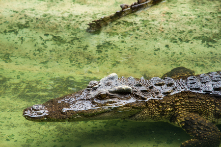 Crocodiles Resting at Samut Prakan Crocodile Farm and Zoo, Thailand