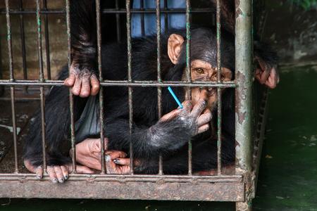 Chimpanzee in the cage at Samut Prakan Crocodile Farm and Zoo, Thailand Stock Photo