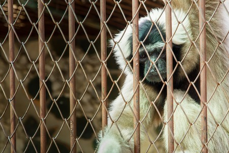 cage gorilla: Monkey in cage at Samut Prakan Crocodile Farm and Zoo, Thailand