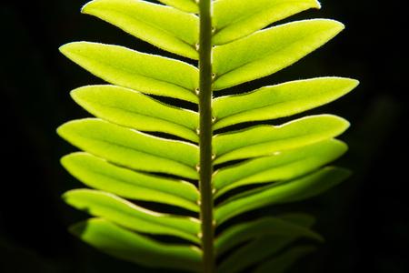 Close up green leaf with black background.natural background
