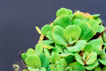 Many green water Lettuec or Pistia stratiotes on the water close up pattern for background and texture