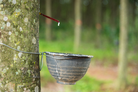 Milk of rubber tree flows into a plastic bowl Stock Photo