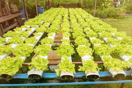 Hidroponia hortalizas verdes que crecen en el vivero, concepto de agricultura Foto de archivo - 82813344