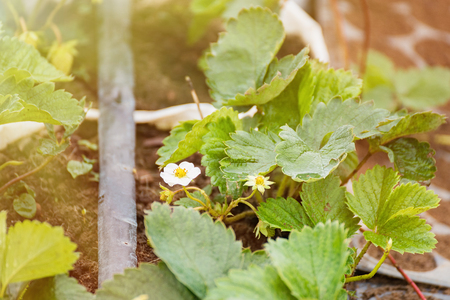 strawberry tree plants in growth at field