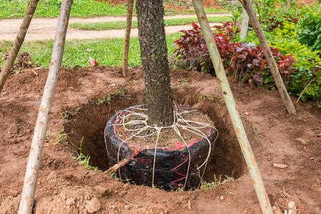 Grote bomen verplaatsen om de tuin te conserveren Stockfoto